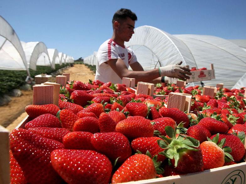 Bona-fragole-agricoltura-stranieri