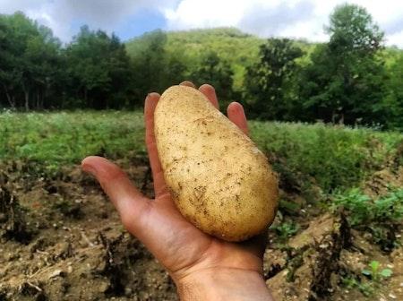 Una patata nella mano di un contadino